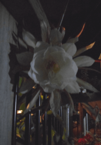 Queen-of-the-Night-bloom-19Aug2015