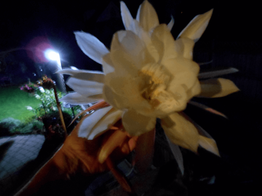 photograph of a blossom of my Queen of the Night plant used as a header image