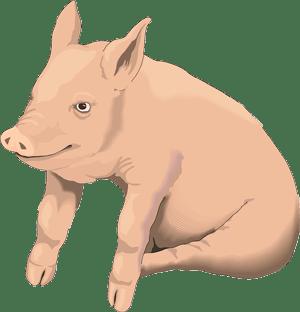 a sitting pig