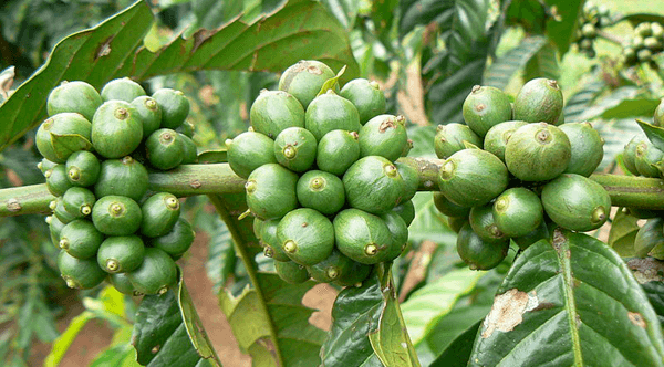 coffee beans grown on the plant